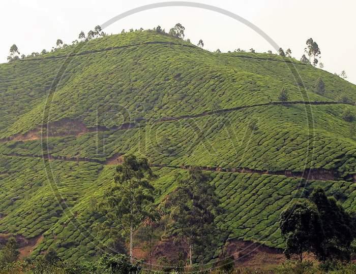 tea plantaion from munnar kerala