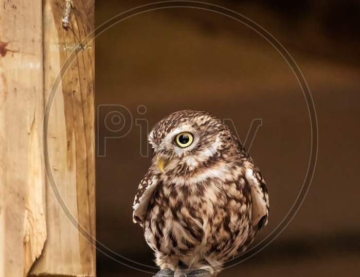 Little Owl, Athene Noctua, Looking Out of English Barn