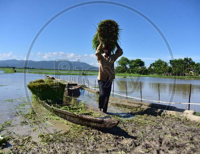 Farmers Collect Fodder For Their Domesticated Animals Near The Fields Submerged By Monsoon In Morigaon District Of Assam On August 19,2020.