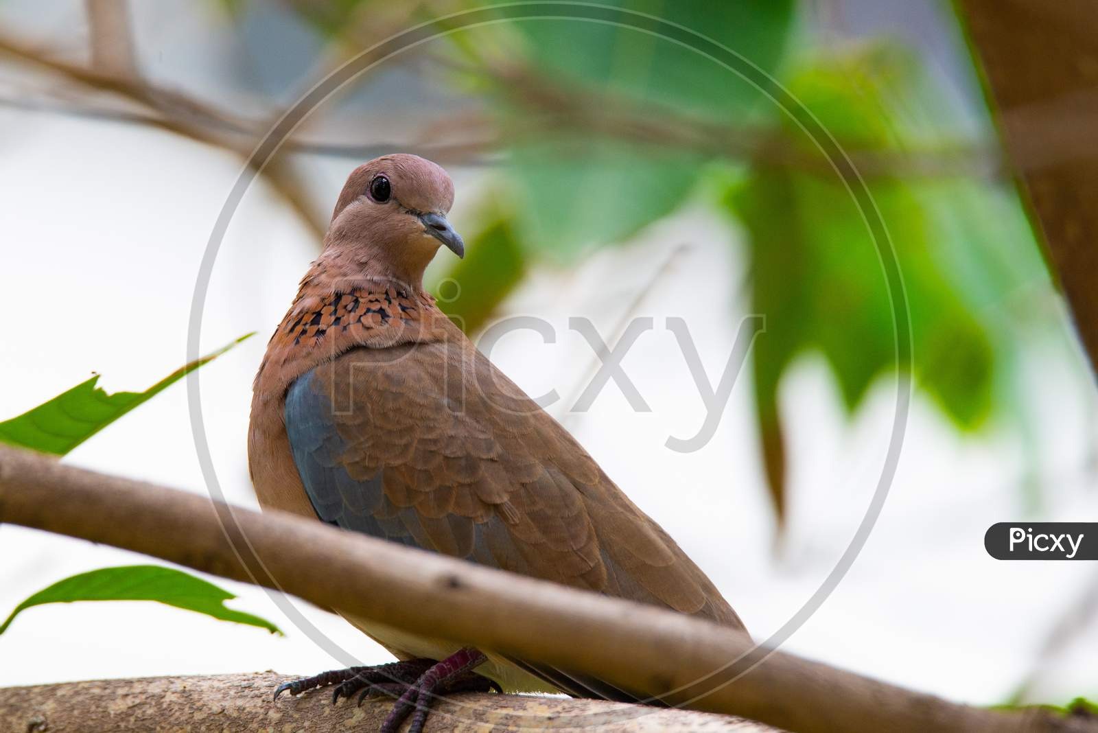 A laughing dove