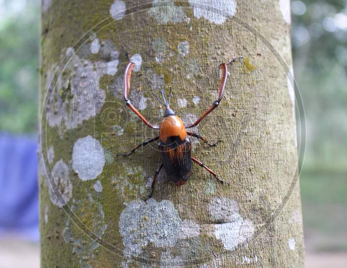 Weevils Penetrate Bamboo Shoots To Capture Rubber Trees