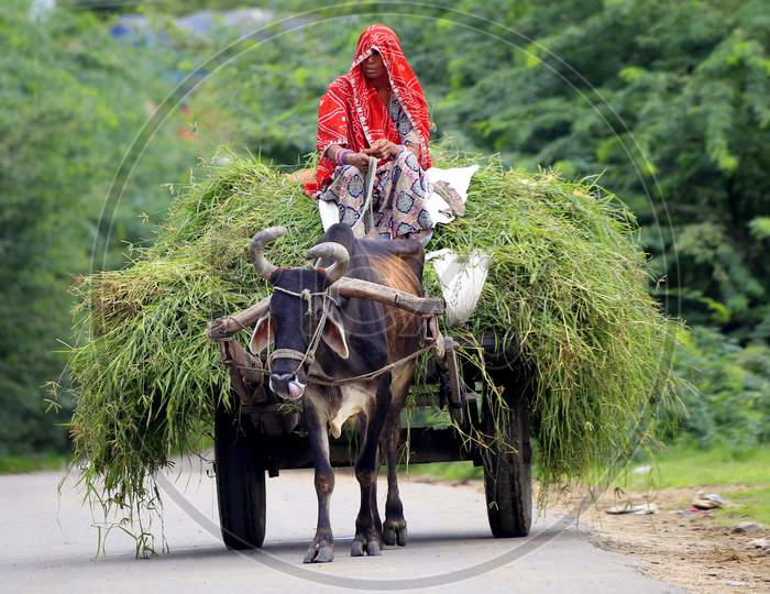 Indian Woman Returns From Agriculture Fields With Produce Carried On A Bullock Cart On The Outskirts Of Ajmer On August 21, 2020.