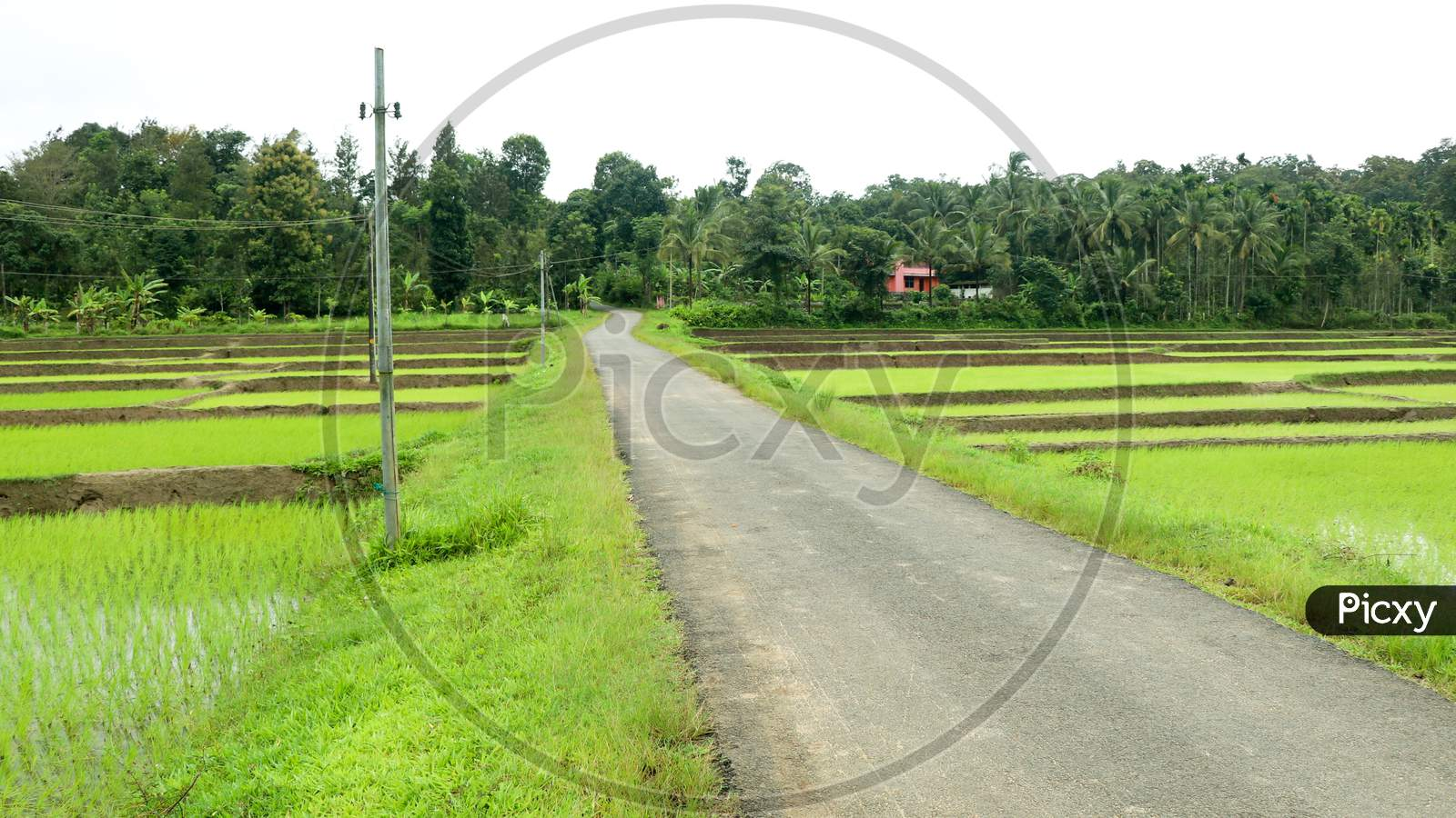 A Village Road Through Newly Planted Paddy Field