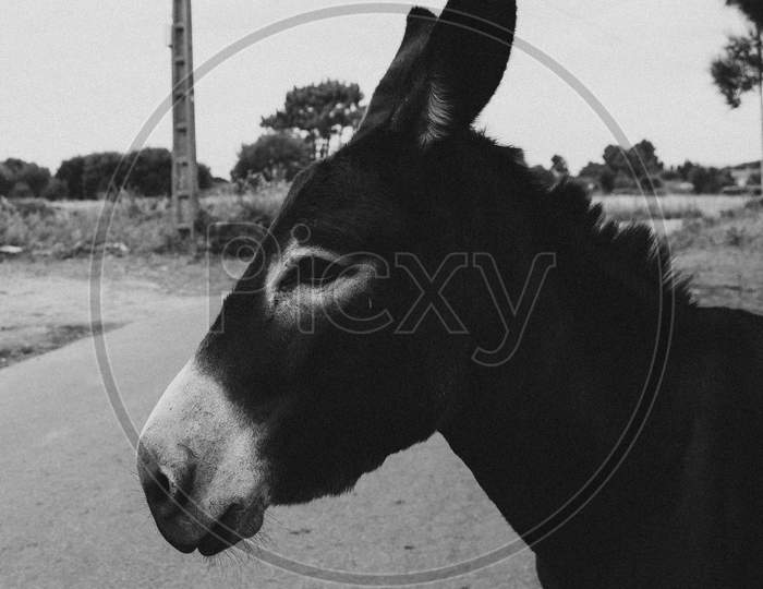 Side Shot Of A Black Donkey In The Village
