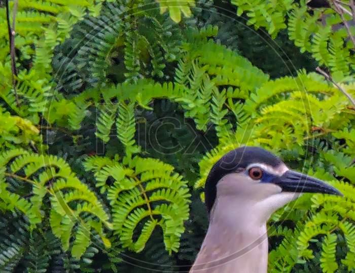 Black Crowned Night Heron For Breeding During Monsoon On Tree