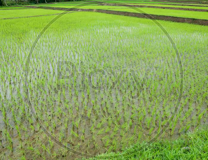 Newly Planted Paddy Field In A Village