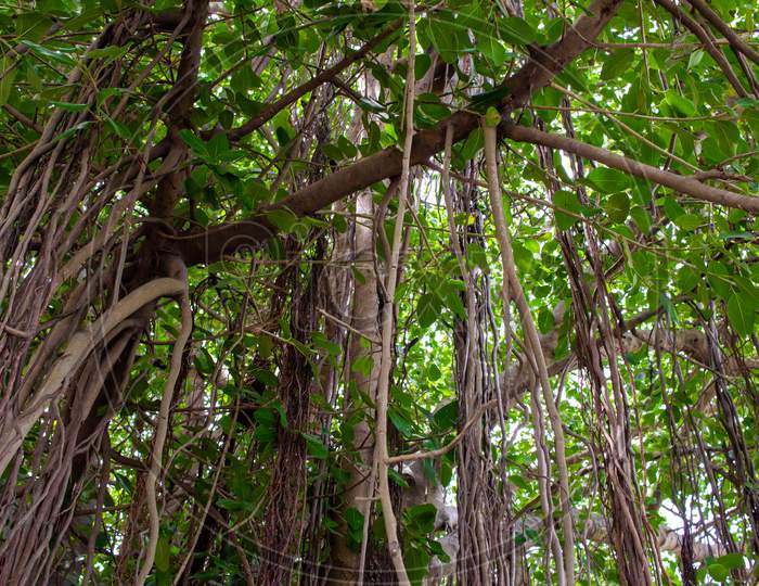 Beautiful View Under The Banyan Trees With Down Roots