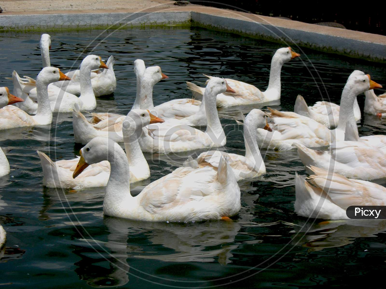 Image Of A Group Of White Duck In A Pond Also Called Swans Or A Geese Ts237355 Picxy