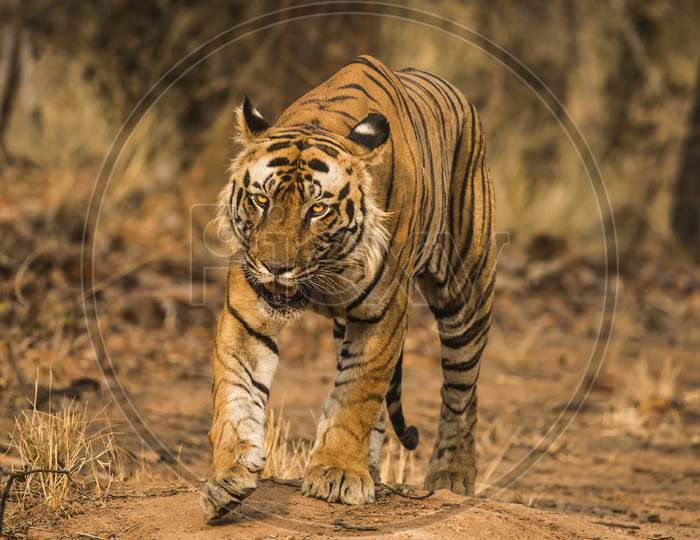 A Tiger or Bengal Tiger walking in Forest