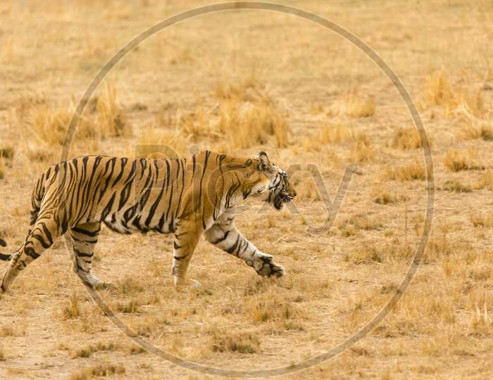 A Tiger or Royal Bengal Tiger walking in the Forest