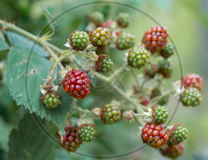 Close-Up Of Growing Wild Blackberry (Rubus) Branch. Unripe Fruits.