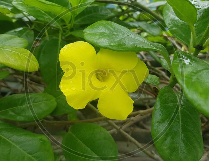 Yellow Allamanda cathartica flowers on green background