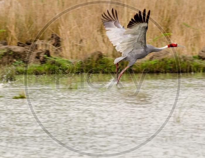 Sarus Crane Sultanpur National Park Haryana India