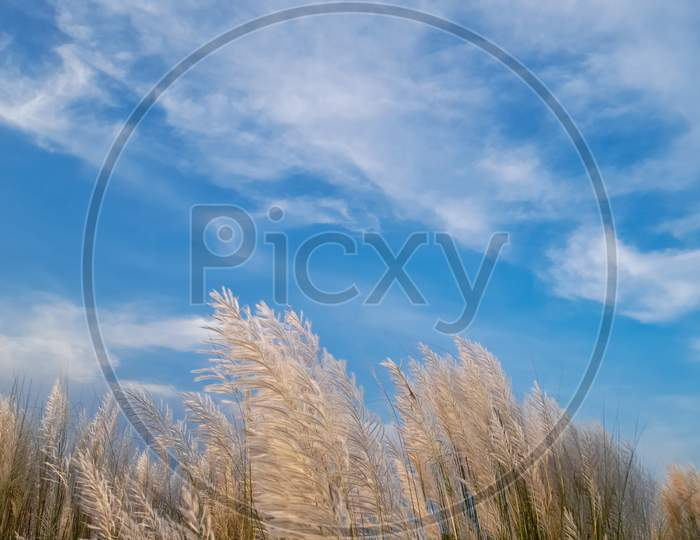 Kash Phool Or Saccharum Spontaneum With Sky And Clouds, Also Known As Kans Grass, Wild Sugarcane