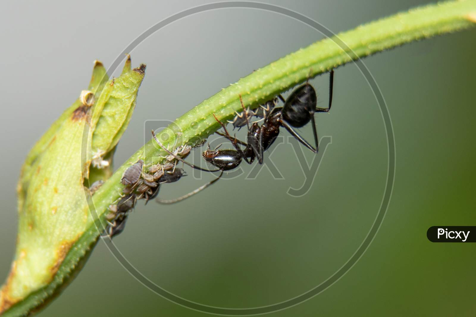 Ants And Aphids Have A Strong Relationship