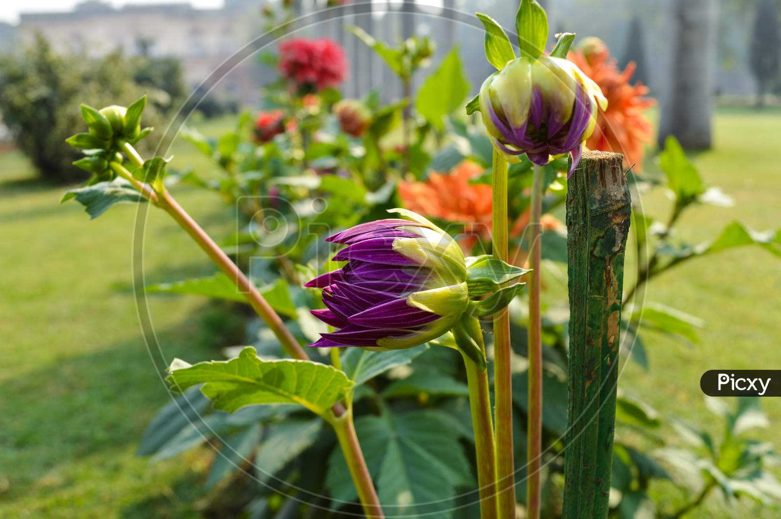 Dahlia Purple Flowers At Lawn Outside Of Safadarjung Tomb Memorial At Foggy Winter Morning.