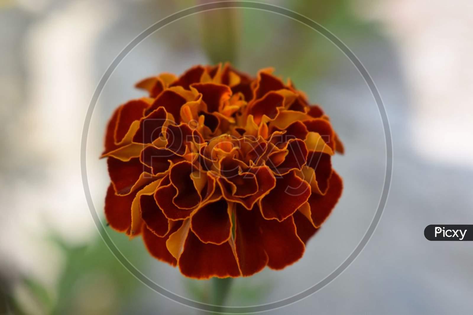 A English marigold w