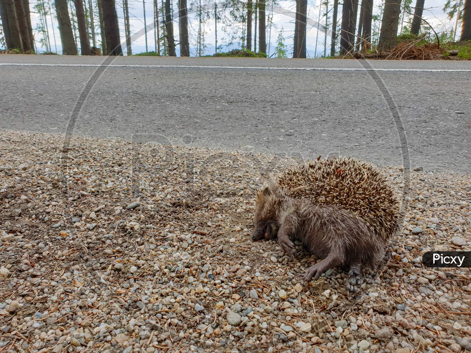 Dead Hedgehog Killed By Car On Nature Road