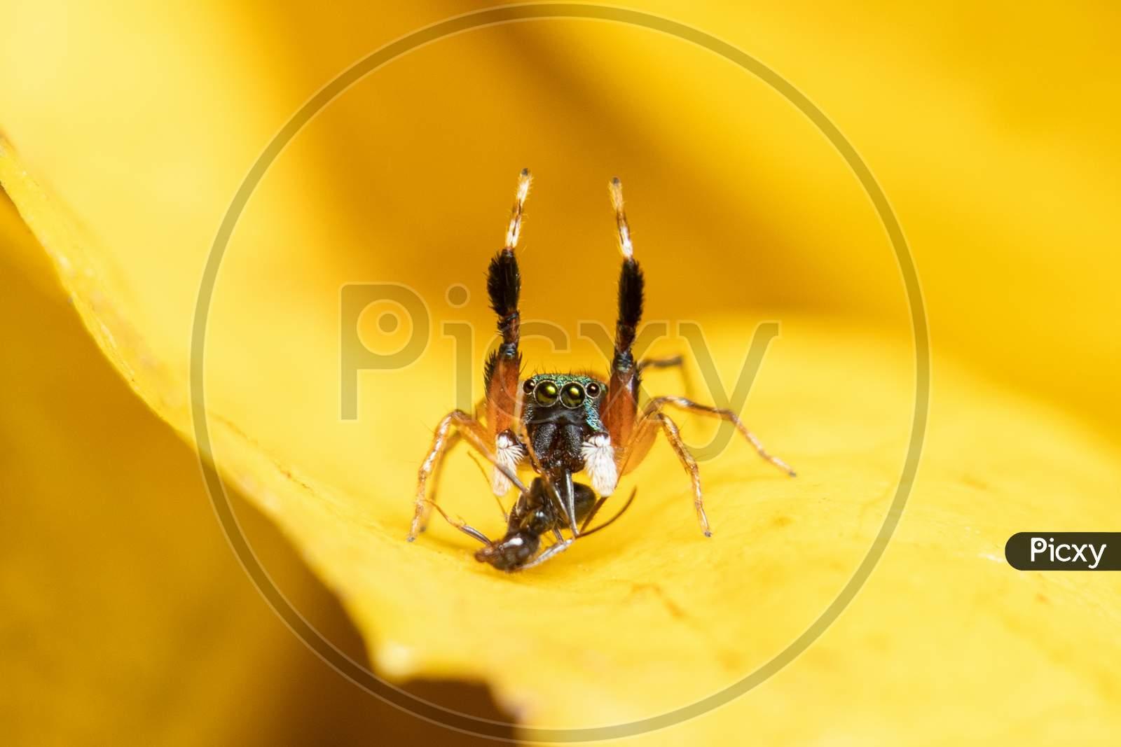 The Metallic Jumper(Siler Semiglaucus) Closeup Hunting Position