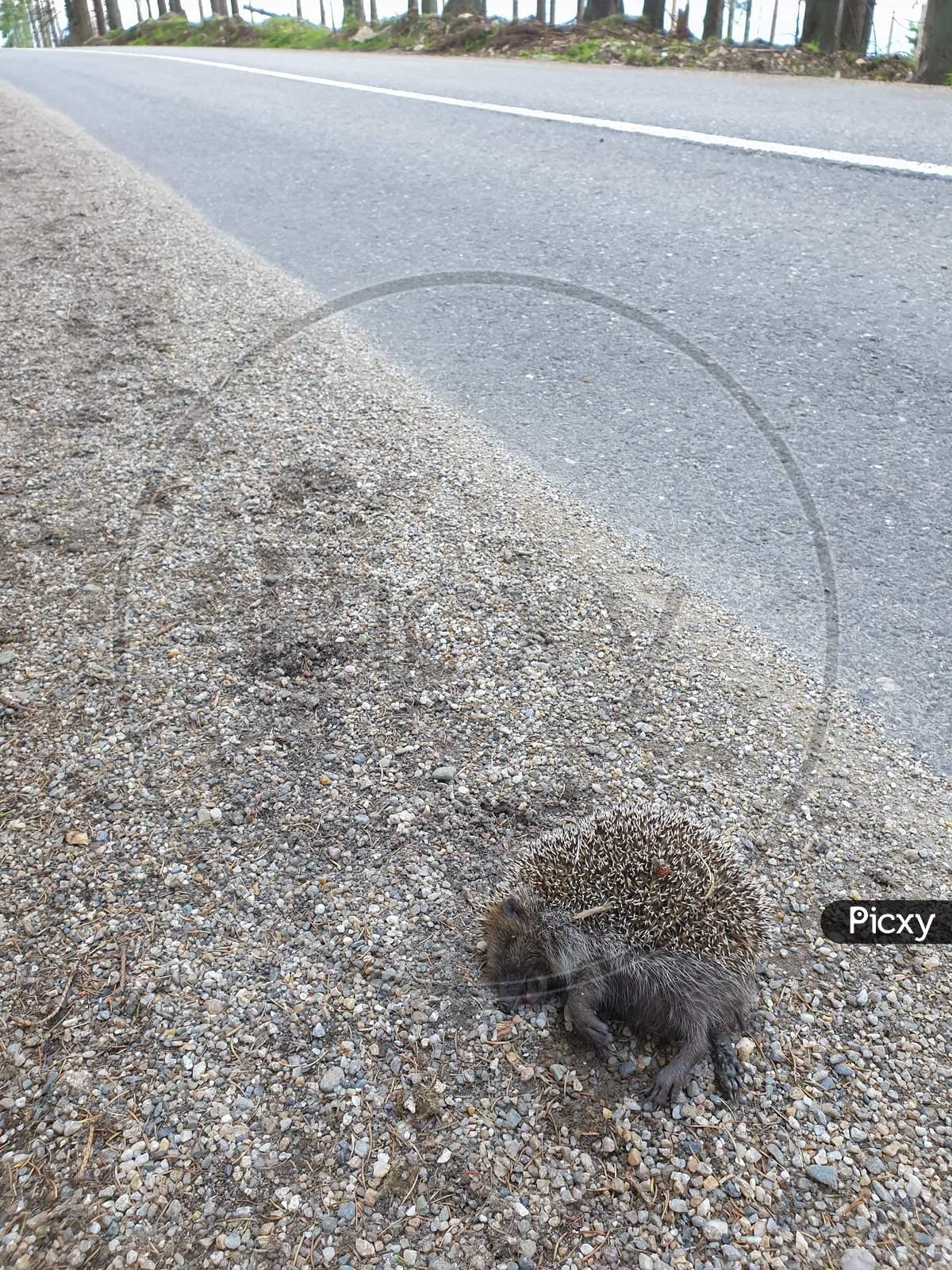 Dead Wildlife Roadkill Hit By Car On Side Of Road