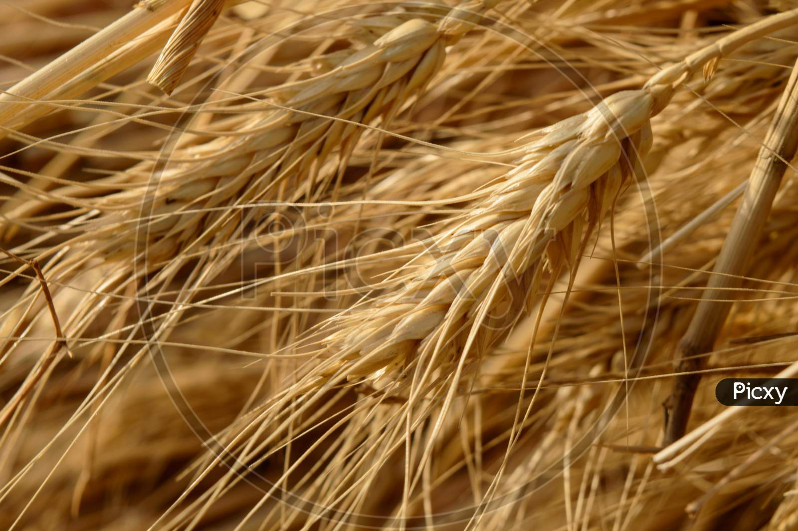 Micro Closeup Shot Of Indian Wheat Which Is Isolated On Field Before Cleanness.