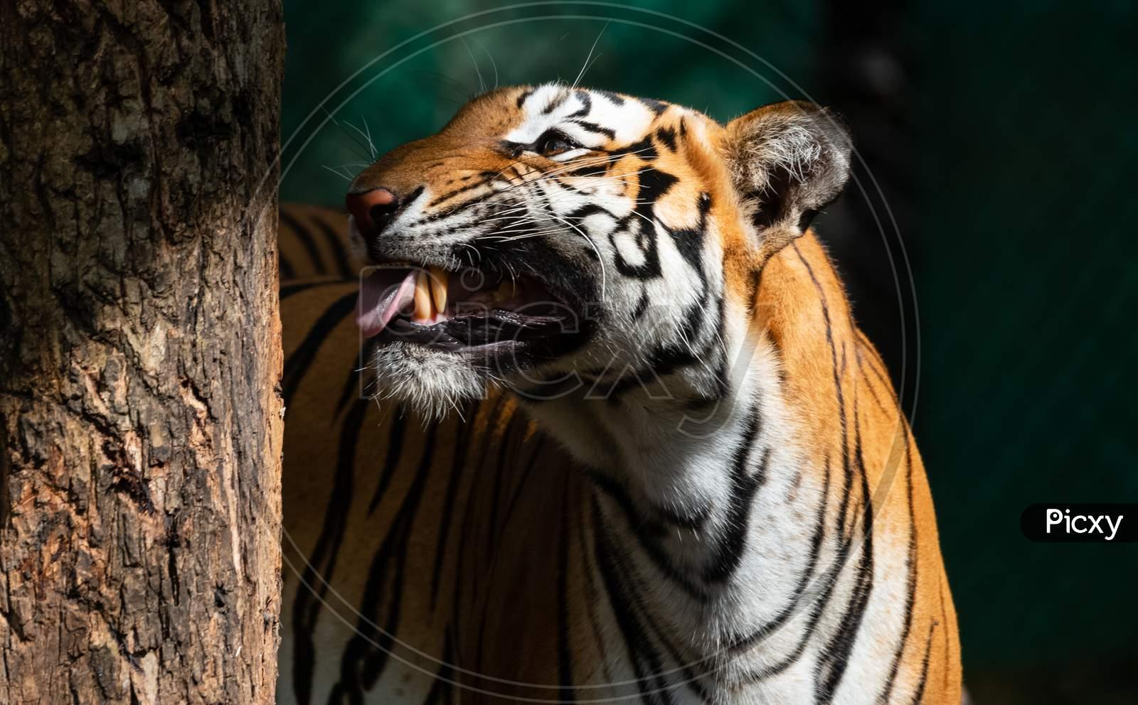 Royal Bengal Tiger in Natural habitat