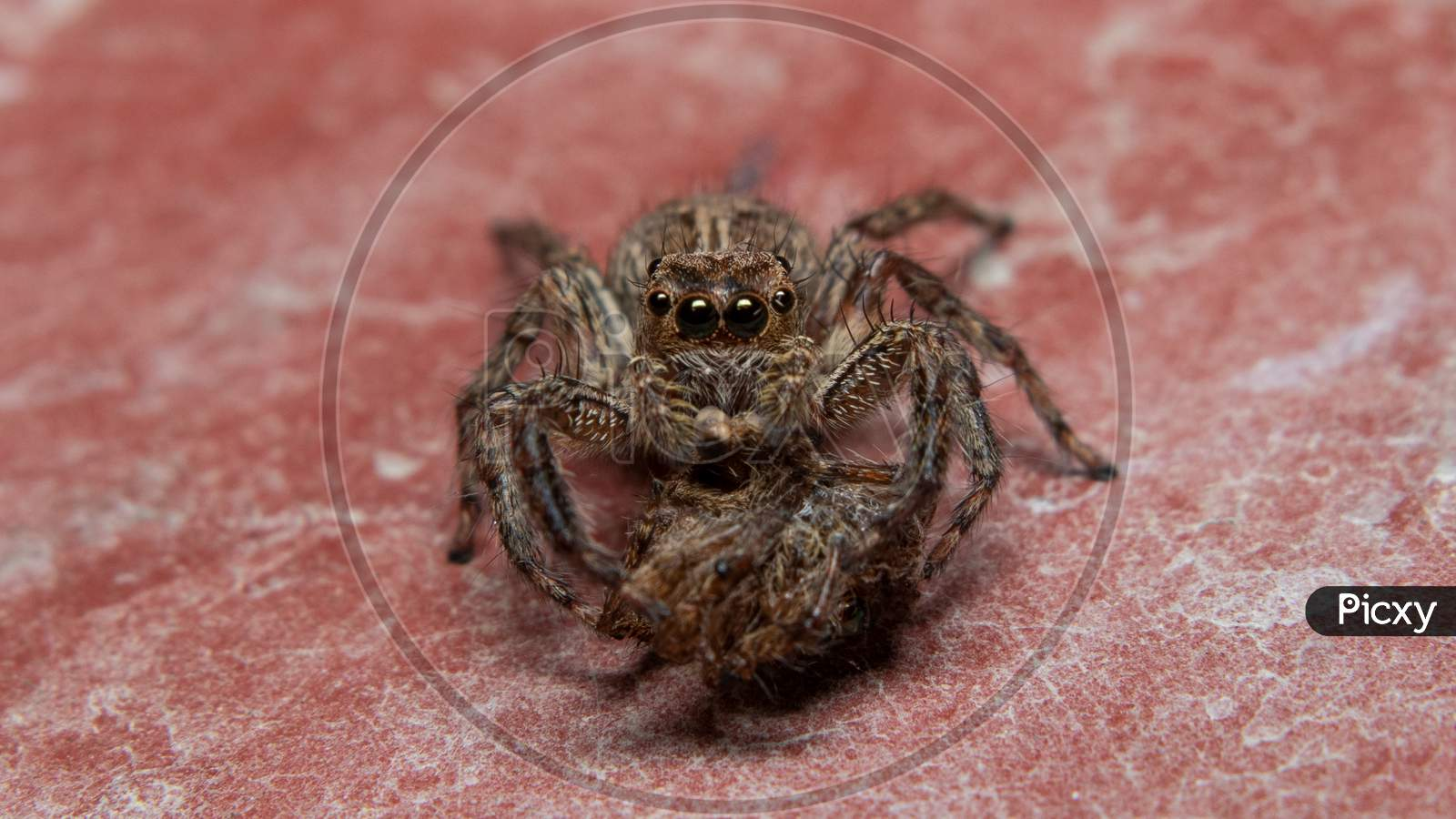Female Spider Eats Male One