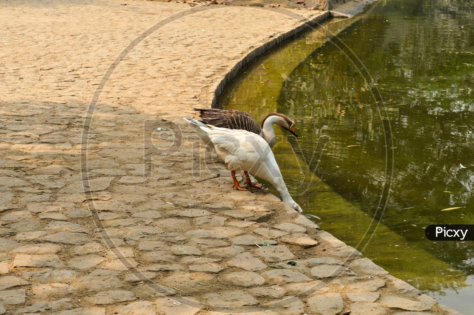 A Pair Of White Color Ducks Drinking,Walking,Roaming Around Near By Pond At Garden, Lawn At Winter Foggy Morning.