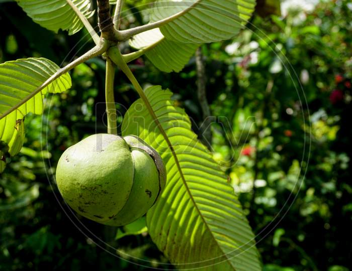 Chalta Is Hanging On The Tree. Dillenia Indica, Commonly Known As Elephant Apple, Is A Species Of Elephant Apple Native To China And Tropical Asia.