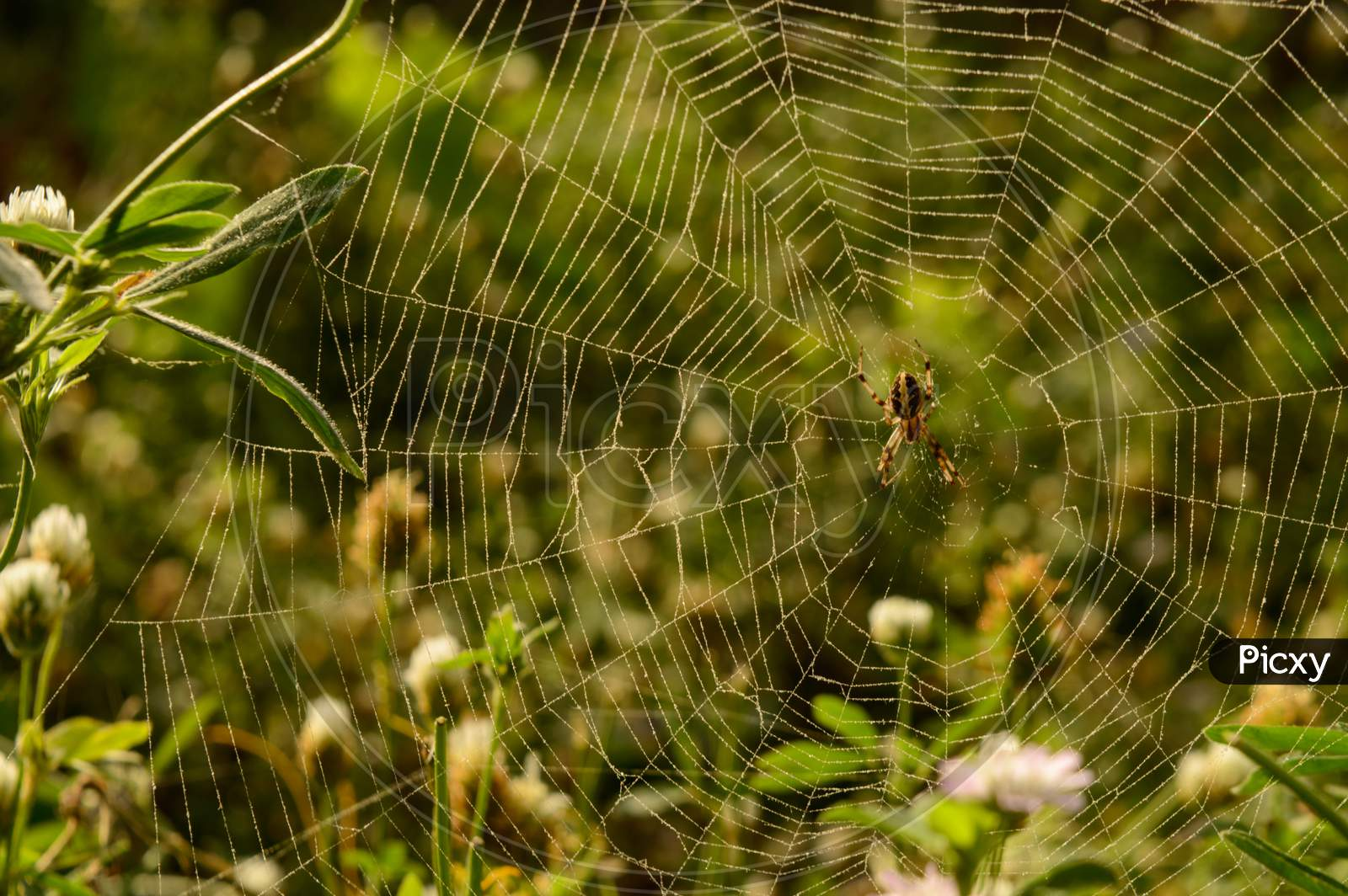 A Web Of Indian Spider Who Is Relaxing On Web At Evening.