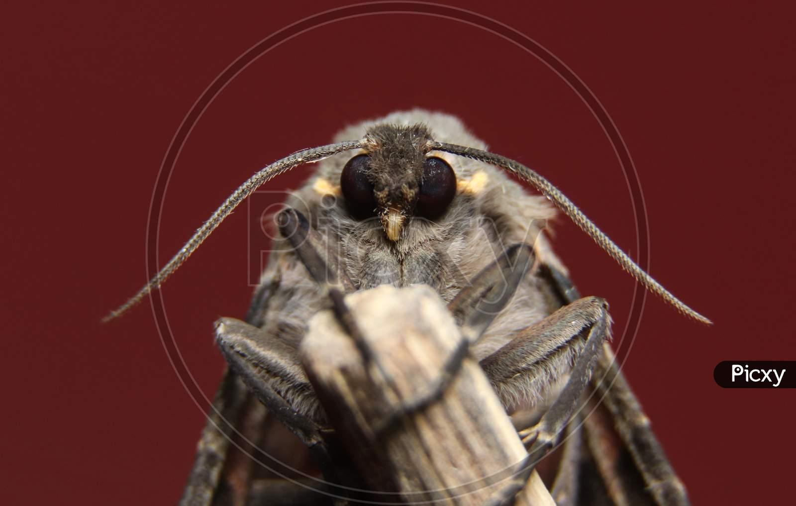 Olepa Ocellifera Closeup