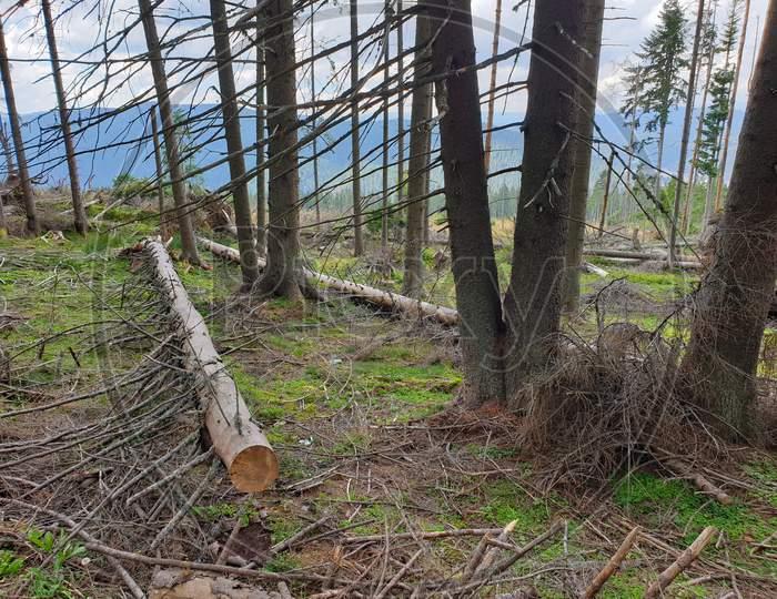 Illegal Pine Tree Cutting In Transylvania, Romania