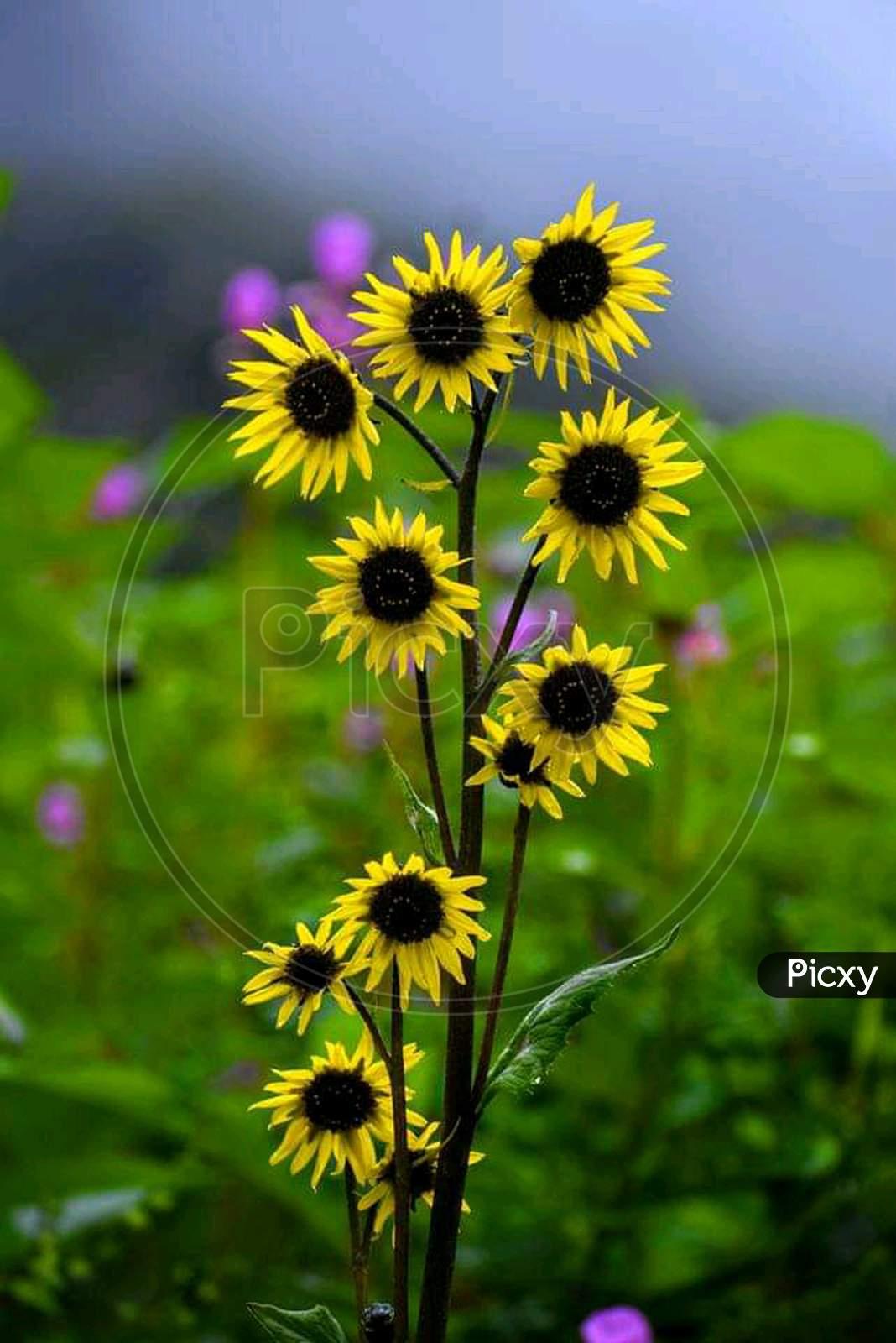Most beautiful sun-flower