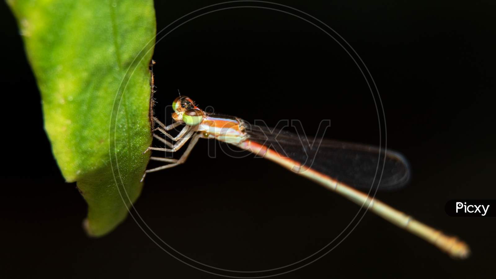 Damselflies On A Leaf