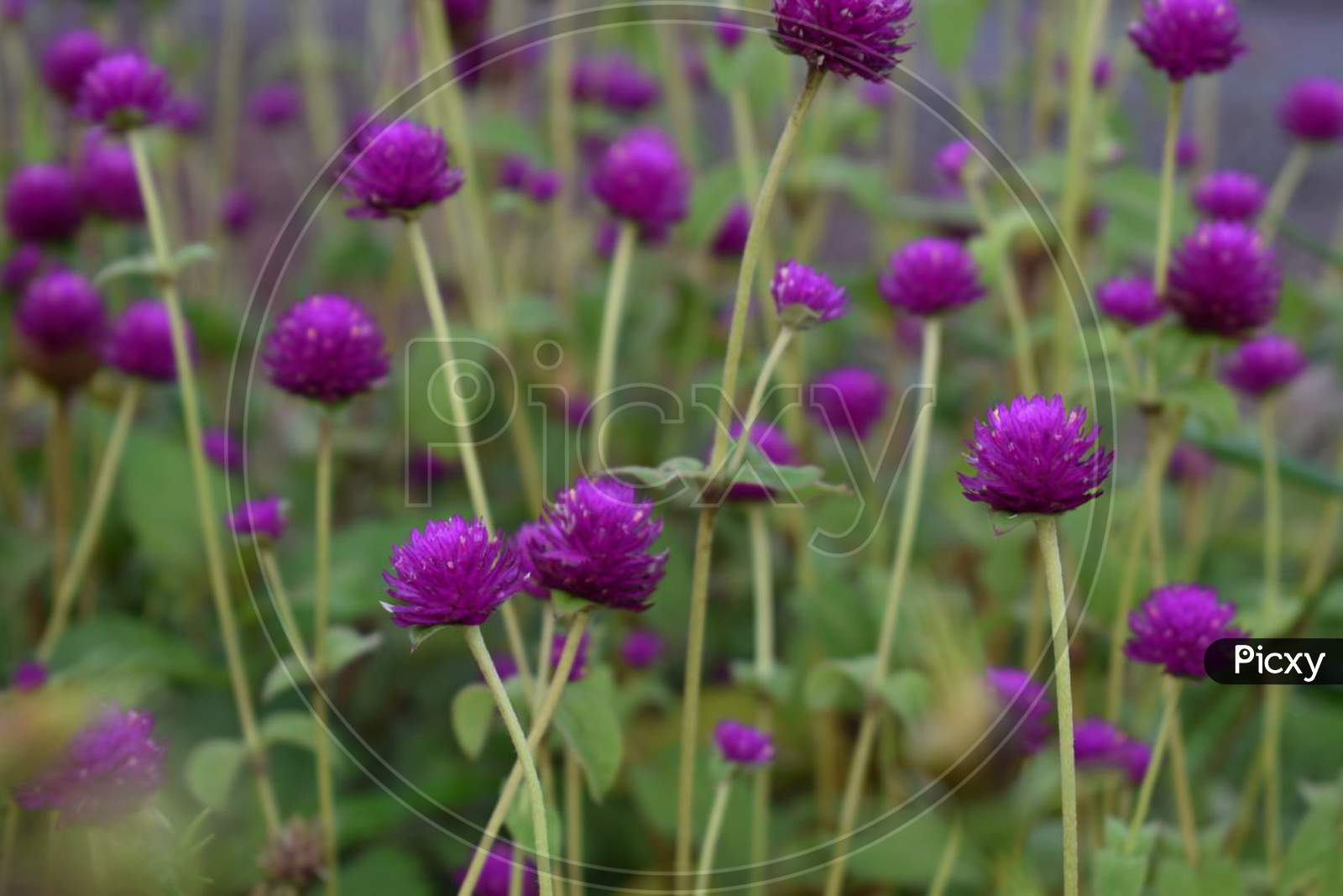 Beautiful purple flowers valley