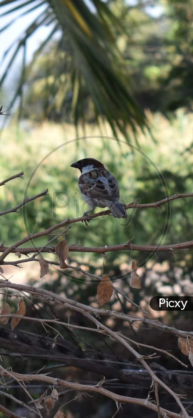 A sparrow bird