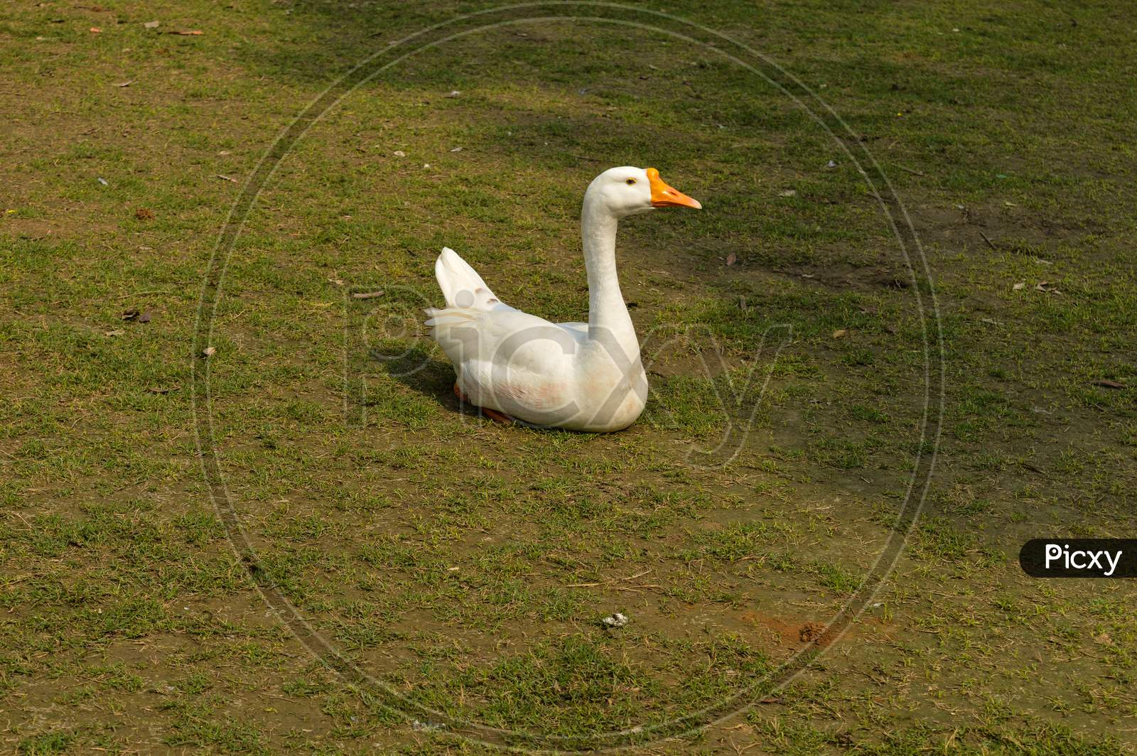 A White Color Duck Walking,Roaming,Siting Around At Garden, Lawn At Winter Foggy Morning.