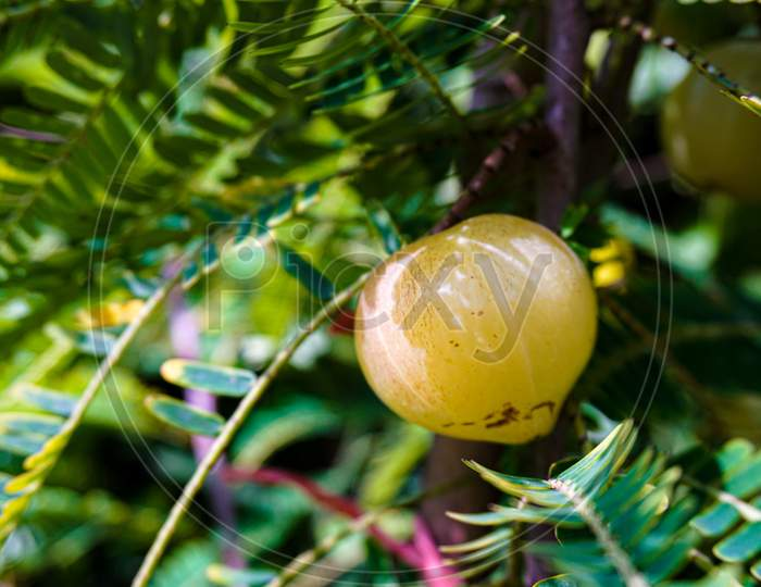 Phyllanthus Emblica, Also Known As Emblic, Emblic Myrobalan, Myrobalan, Indian Gooseberry, Malacca Tree, Or Amla From Sanskrit Amalaki Is A Deciduous Tree Of The Family Phyllanthaceae.