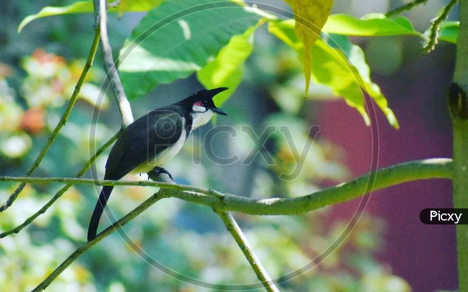 Most beautiful bird bulbul