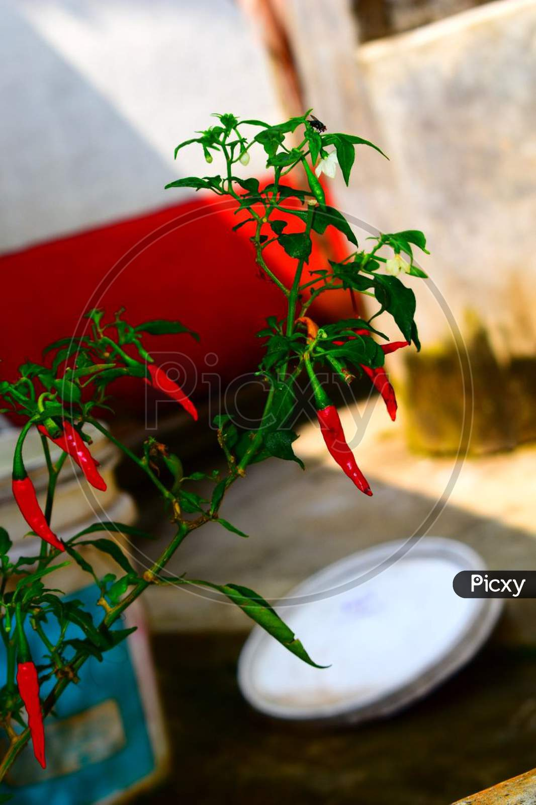 A red chilli plant
