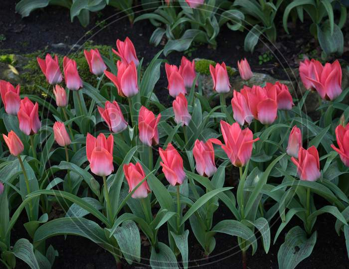 Pink And Rose Colored Tulips In A Garden In Lisse, Netherlands, Europe