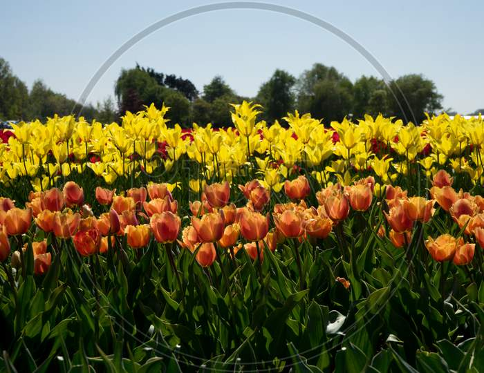 Netherlands,Lisse, A Yellow Flower In A Field