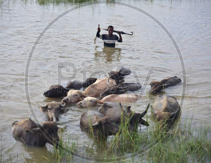 A villager guides his cattle towards safer place from a flood-hit village near Kampur  in Nagaon district of Assam, Friday, Sept. 25, 2020
