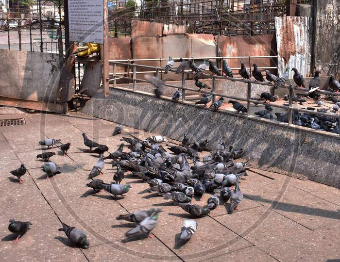 Pigeons Eating Food In A Herd In A Temple.
