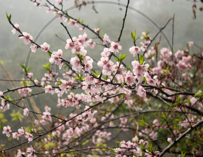 Cherry Blossom Closeup On A Misty Morning.