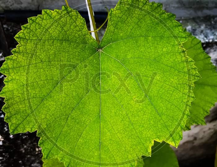 Grapevine- picture of grape leaf