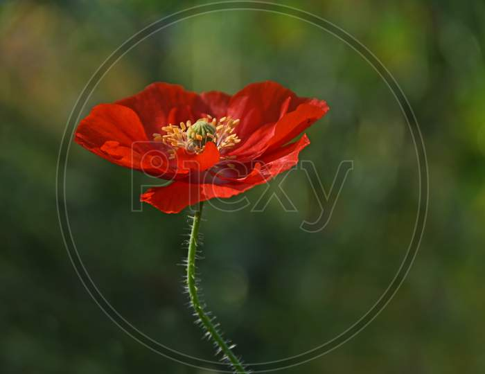Red Corn Poppy With Blur Background In the Spring Season.