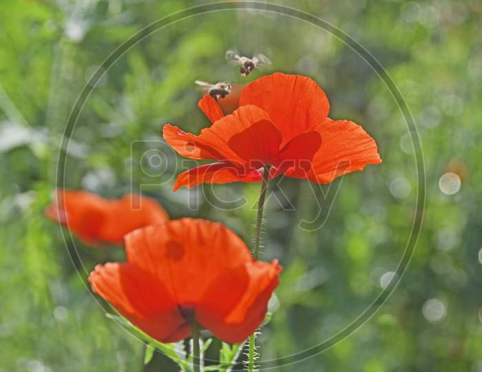 Bees Flying On Red Corn Poppy In The Spring Season.