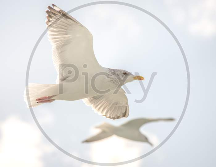 Beautiful Seagulls Flying In The Blue Sky