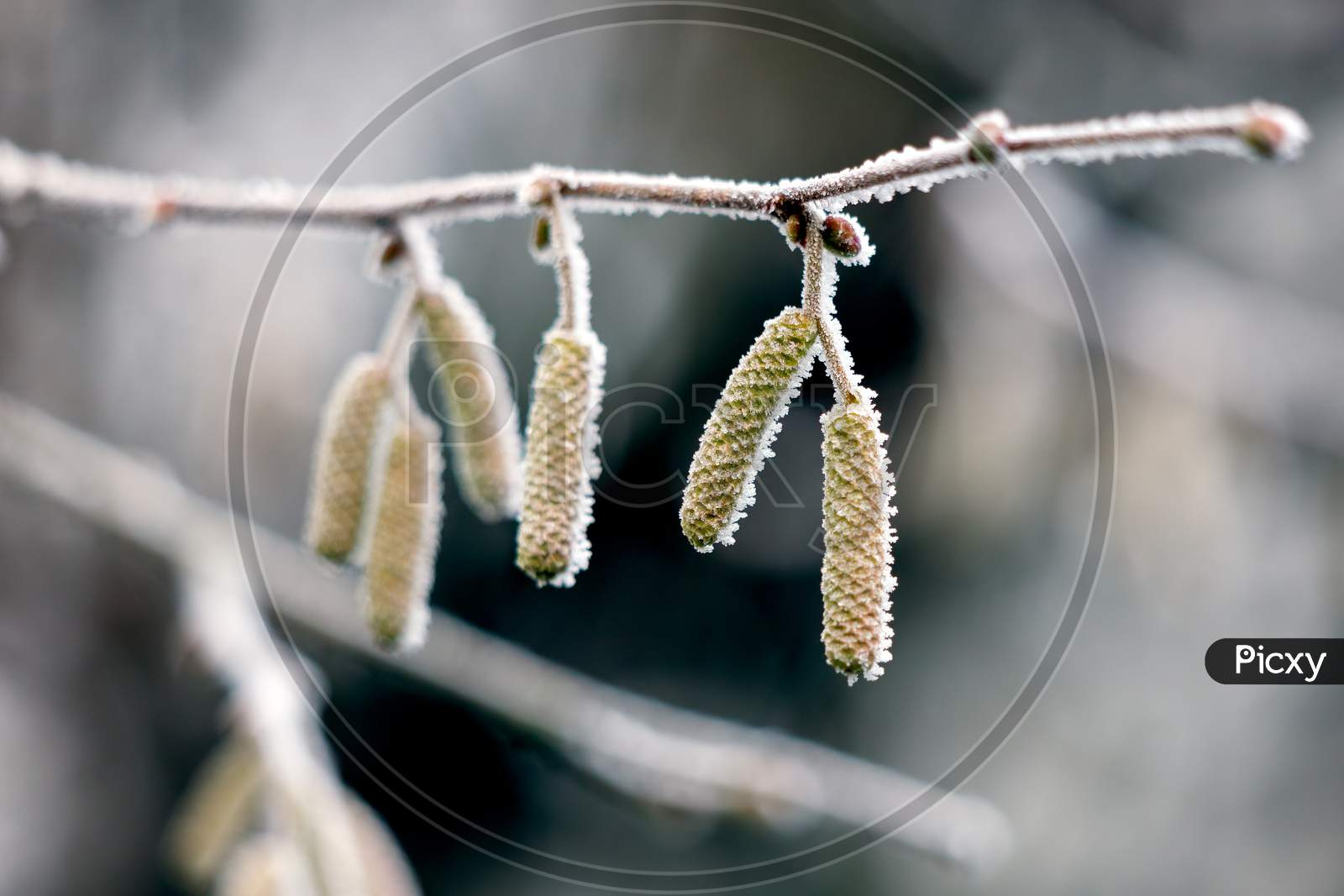 Catkins On A Hazel (Corylus Avellana) Tree Covered With Hoar Frost On A Winters Day